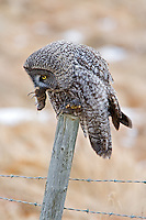 Great Grey Owl Holding a capture vole in its beak.. 2713x4069