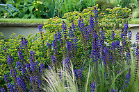 In this flowerbed deep violet salvias have been planted to create a vivid contrast with the sharp green foliage of the euphorbias behind