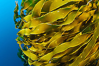 Strands of strap kelp moving in a current, Poor Knights Islands, New Zealand. The Poor Knights Islands are famous for their sub-trobical marine biodiversity.  The islands have many underwater arches and caves, some of which are home to large schools of blue mao mao.