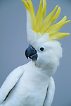 Sulfur-crested Cockatoo, Australia. (captive)