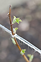 Buds breaking on last year's canes of summer-fruiting Raspberry 'Glen Cova', mid March.