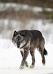 Spirit, the father wolf from the Bow Valley wolf family, walks through deep snow in a meadow in Banff National Park, winer 2012.  The pack, or family, consists of six wolves.  They are on the hunt for a mule deer that ran through the area just seconds before this photo was taken.  Photo By Gus Curtis.