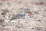 Houbara Bustard, Chlamydotis undulata fuertaventurae, Tindaya Plain, Fuerteventura, Canary Islands, Spain, endangered on the Spanish Bird Red List