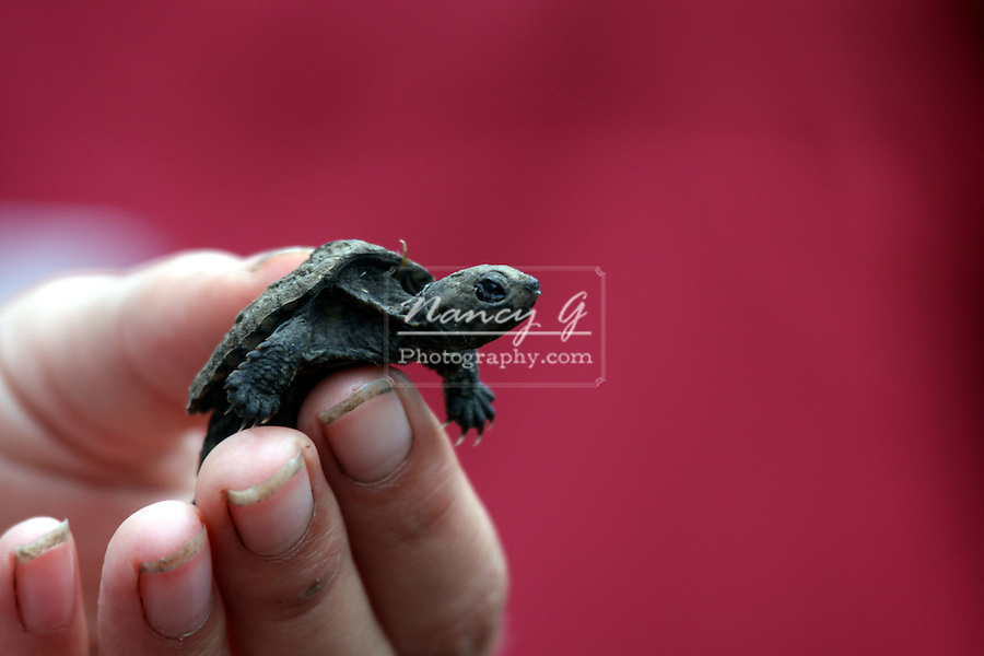 A little baby snapping turtle being held at the DeYoung Family Zoo Michigan