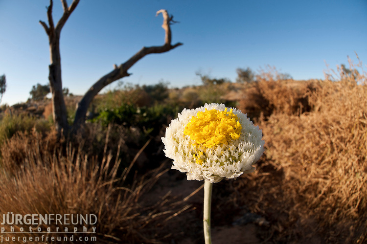 Australian desert wildflowers - poached egg daisies  (Polycalymma stuartii)