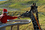 feeding reticulated giraffes