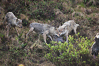 The Grant Creek wolf pack in Denali National Park feed on a recently killed moose calf, Denali National Park, Alaska.