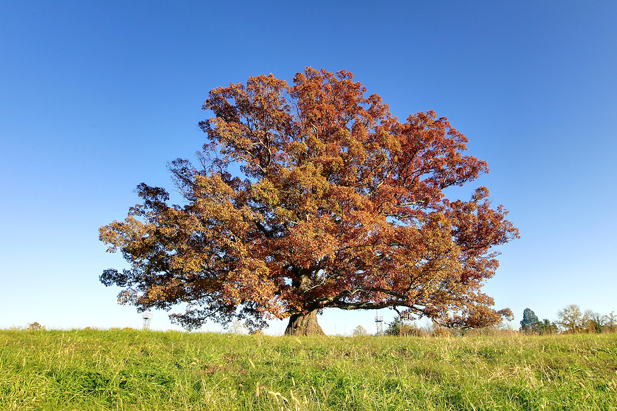 Large oak in Albemarle County, VA. Photo/Andrew Shurtleff