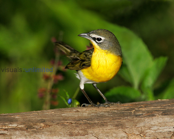 Yellow-breasted Chat ,Icteria virens,, Southwest, USA.