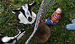 Ember Summer, 14 mos., looses her balance after visiting the two goats who live with her at The Tryon Life Farm. The animals are being used to help eradicate blackberry bushes and will eventually be producing milk to drink...