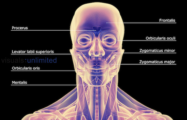An anterior view of stylized muscles of the head and neck. Royalty Free