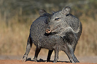 650520243 wild javelina or collared peccaries dicolyties interact on beto gutierrez santa clara ranch hidalgo county lower rio grande valley texas united states