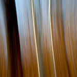 #26 Aspens, Late Fall #4 Motion