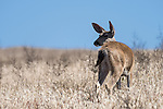 Point Reyes National Seashore, California; a Columbian black-tailed deer (Odocoileus hemionus columbianus) grazing in the tall grass on a hill overlooking Drakes Bay