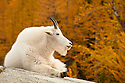 Mountain goat at Leprechaun Lake, The Enchantments, Alpine Lakes Wilderness, Washington.