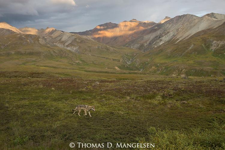 A gray wolf walks across the tundra in Denali National Park, Alaska.