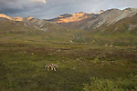 A gray wolf walks across the tundra in Denali National Park, Alaska.