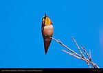 Allen's Hummingbird Male, Color Display, Sepulveda Wildlife Refuge, Southern California