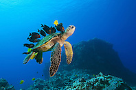 endangered species, green sea turtle, Chelonia mydas, being cleaned by yellow tang, Zebrasoma flavescens, gold-ring surgeonfish, Ctenochaetus strigosus, and endemic saddle wrasse, Thalassoma duperrey, Kona Coast, Big Island, Hawaii, USA, Pacific Ocean