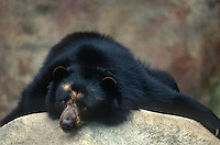609873036 a captive spectacled bear tremarctos ornatus relaxes on a large rock - species is native to east asia - this is a zoo animal