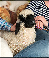 BNPS.co.uk (01202 558833)<br /> Pic: TomWren/BNPS<br /> <br /> Emma Childs relaxes with Barry.<br /> <br /> It's a dogs life for 'Barry the lamb' - The precious Valais Blacknose lamb is being hand reared by owner Emma Childs after being rejected by his mother.<br /> <br /> Emma took Barry the lamb into her home last month so she could bottle-feed him round the clock after his mum rejected him as a newborn.<br /> <br /> Barry, now four weeks old, is a valuable rare Valais Blacknose, a breed that was only introduced to the UK from the Swiss Alps in 2014.