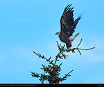 Bald Eagle Takeoff, 4th Year Juvenile, Silver Salmon Creek, Lake Clark National Park, Alaska