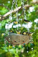 Bananaquits in a feeder.The Tourist Trap.South shore.St. John USVI
