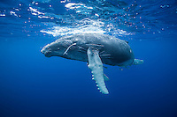Humpback looks down from the surface. (Photo by Underwater Photographer Matt Considine)