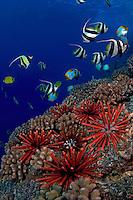 Slate pencil sea urchins, Heterocentrotus mammillatus, color the foreground of this Hawaiian reef scene.  Pennantfish, Heniochus diphreutes, and Pyramid butterflyfish, Hemitaurichthys polylepis, swim through the background.  Hawaii.
