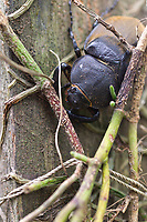 Rhinoceros beetle, Costa Rica, Central America.