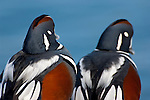 Harlequin Ducks, Histrionicus histrionicus, male, Barnegat Light, New Jersey