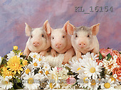 Animals - pigs  photos