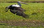 Australian pelican, Kakadu National Park, Australia