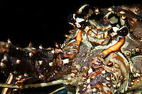 Caribbean Spiny Lobster (Panulirus argus)<br /> U.S. Virgin Islands