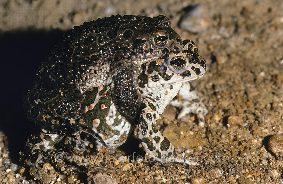 Wechselkröte, Wechsel-Kröte, Grüne Kröte, Paarung, Kopulation, Männchen huckepack auf dem Weibchen, Laichwanderung, Bufo viridis, green toad