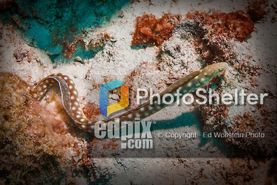 27 January 2016:  A Sharptail Snake-Eel (Myrichthys breviceps) hunts for food on the reef at Captain Don's Habitat in Bonaire. Bonaire is known for its pioneering role in the preservation of the marine environment. A part of the Netherland Caribbean Islands, Bonaire is located off the coast of Venezuela and offers excellent scuba diving, snorkeling and windsurfing.  Mandatory Credit: Ed Wolfstein Photo *** RAW (NEF) Image File Available ***