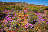 Namaqualand wildflowers,  Namaqualand, South Africa  a  One of the world's largest wildflower blooms Ganzia sp.  Felicia sp.