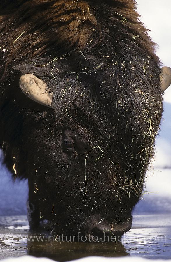 Amerikanischer Bison, Portrait, Bison bison, American bison, buffalo