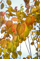 Cercidiphyllum japonicum Katsura Tree in autumn fall foliage heart shaped leaves, looking upward into sky, gold and red colors