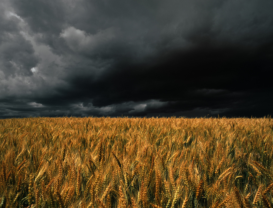 The sun lights a wheatfield while a storm approaches ...