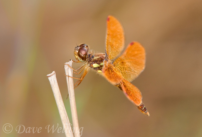304560006 a wild male eastern amberwing dragonfly perithemis tenera perches on a dead grass stem at santa ana national wildlife refuge rio grande valley texas united states