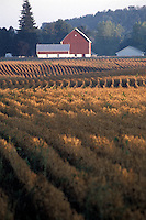 Crop Rows in the Morning with Farm Buildings in Background
