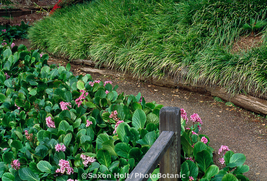 Bergenia crassifolia in winter bloom with Lilyturf along dirt pathway.