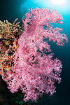 Bligh Waters, Vatu I Ra Passage, Fiji; a colony of pink soft corals, extending into the blue water, to feed in the current, with the sun visible above