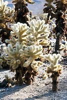 CHOLLA CACTUS<br /> Opuntia-Cholla Cactus<br /> Cholla is a term applied to various shrubby cacti of the opuntia genus with cylindrical stems composed of segmented joints.  These stems are actually modified branches that serve several functions--water storage, photosynthesis and flower production.