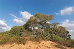 T-079 Euphrate Poplar trees in Nitzanim