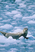 Harbor seal resting on glacial iceberg, Meares Inlet, Prince William Sound, Alaska