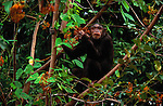 Chimpanzee, Mahale Mountains National Park, Tanzania
