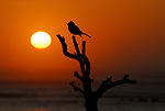 Songbird on tree at sunset at Ano Nuevo SR