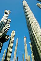 Organ cacti at the etno-botanical gardens in Santo Domingo, Oaxaca City, Oaxaca.